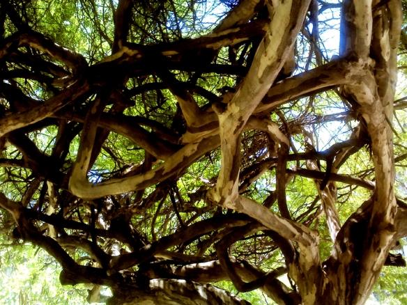 Árvore emaranhada -Foto Spírito Santo